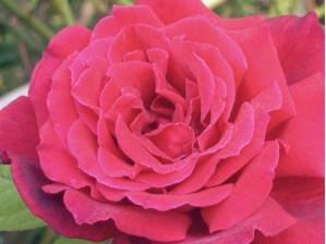 La rosa senza nome