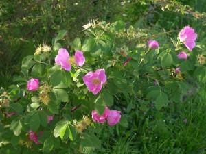 rosa blanda labrador rose: in fiortura