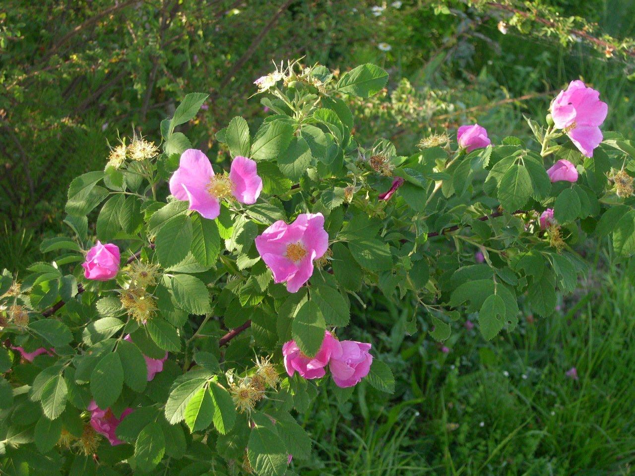 rosa blanda labrador rose  in fiorituraRosa Blanda