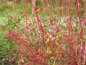 rosa blanda labrador rose: in autunno