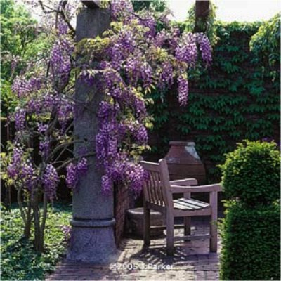 Wisteria Prolific