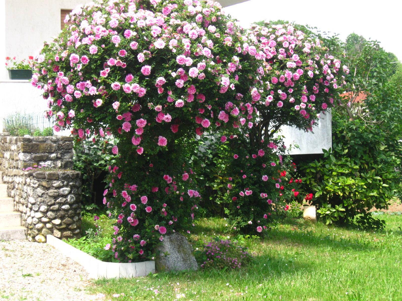 Roxburghii plena show amici in giardino for Cespugli giardino