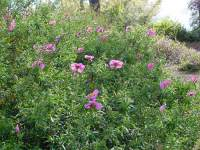 tappezzanti Cistus Purpureus Rock Rose