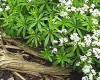 tappezzanti Galium Odoratum