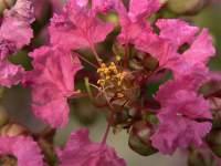 Lagerstroemia il fiore