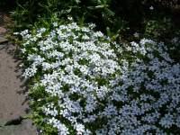 tappezzanti Pratia Pedunculata