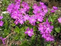 tappezzanti Primula Clusiana