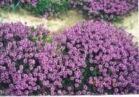 tappezzanti Thymus Citriodorus