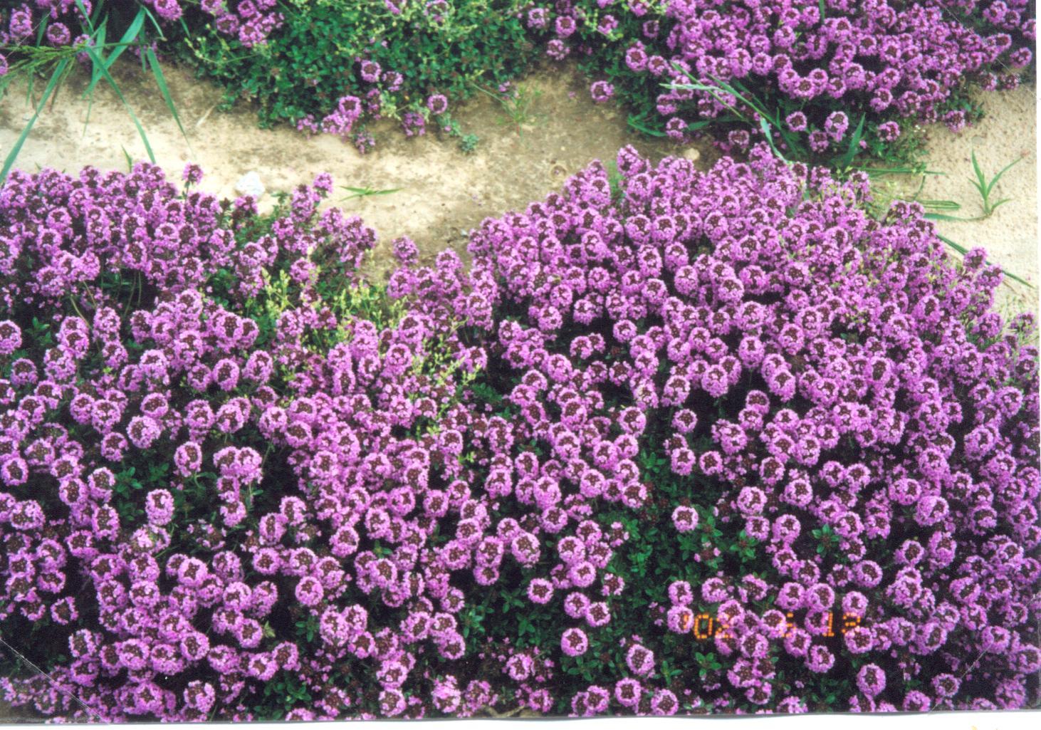 Le piante tappezzanti amici in giardino for Piantine fiorite perenni