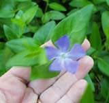 Vinca Major il fiore