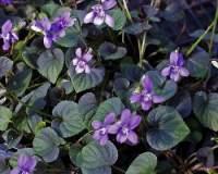 tappezzanti Viola Labradorica