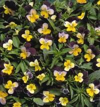 tappezzanti Viola Tricolor