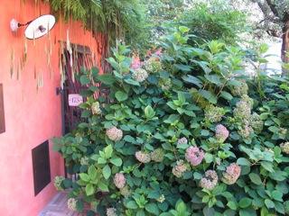 giardino da Guinness: ortensie