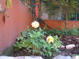giardino da Guinness: una piccola rosa