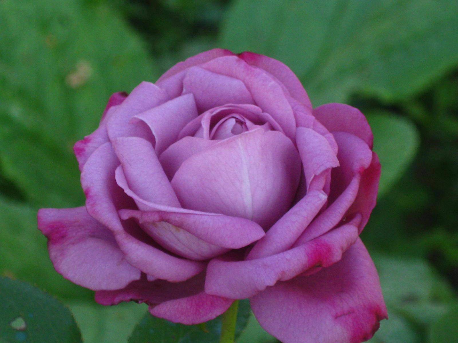 Rosa blu un mito amici in giardino - Giardino con rose ...