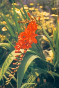 Crocosmias Masoniorum