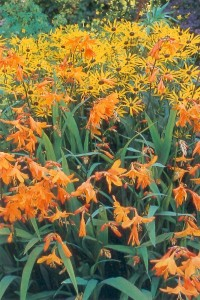 Crocosmia x crocosmiiflora Star of the East