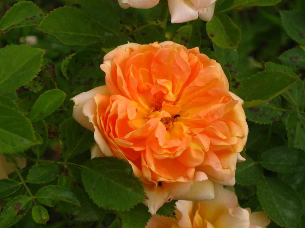 Rose da seme amici in giardino for Rose da giardino