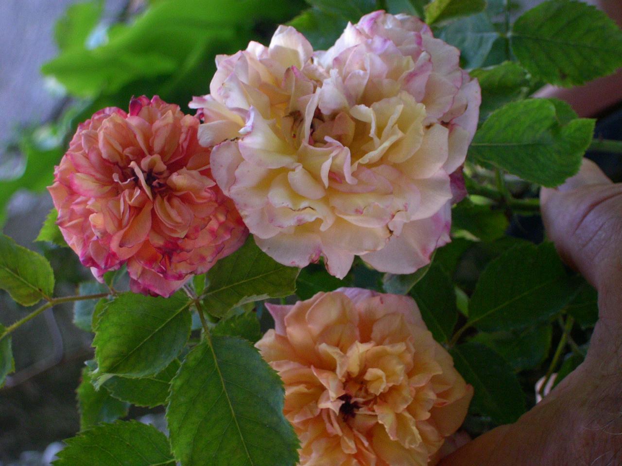 Rose da seme | Amici in Giardino
