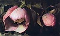 Helleborus-Orientalis