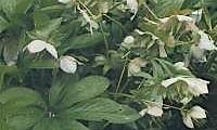 Helleborus Dumetorum