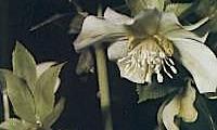 Helleborus Orientalis Subsp Guttatus