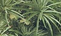 Helleborus Multifidus Subsp Hercegovinus