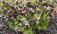 Helleborus Halliwell Purple