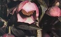 Helleborus Orientali