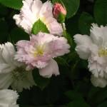 R. rugosa 'Fimbriata'