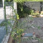 Asclepias fruticosa la pianta