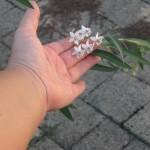 Asclepias fruticosa i fiori