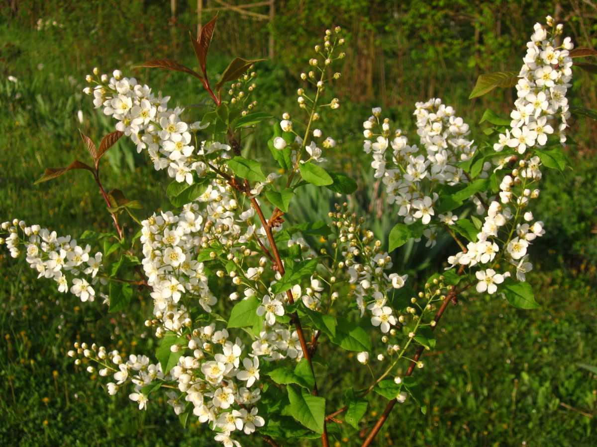 Amici in giardino giardinaggio e dintorni giardinaggio for Pianta ornamentale con fiori a grappolo profumatissimi