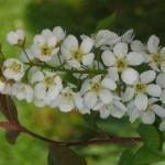fiori del Prunus padus