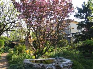 il ciliegio e il laghetto