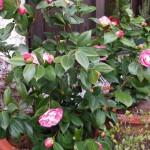 Altre fioriture