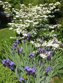 Viburnum plicatum pink beauty con Iris barbati blu