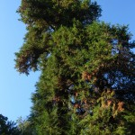 una delle vecchie sequoie
