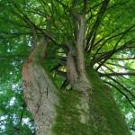 l'imponente chioma di una sequoia