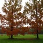 giovani sequoie con il manto autunnale