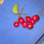Smilax aspera i frutti