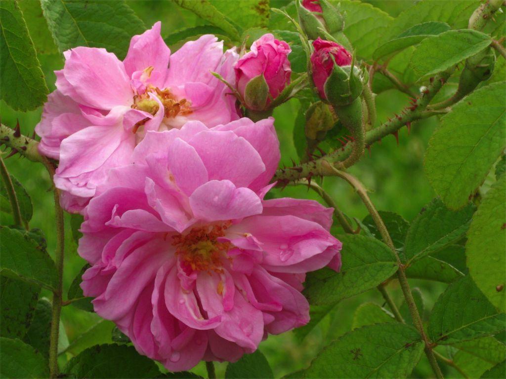 Sulle tracce di antiche rose amici in giardino - Rose coltivazione in giardino ...