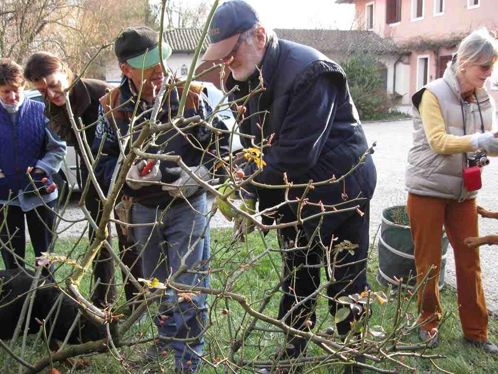 Potatura delle rose per amici in giardino amici in for Potatura delle rose