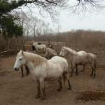 isola della cona: cavalli camargue