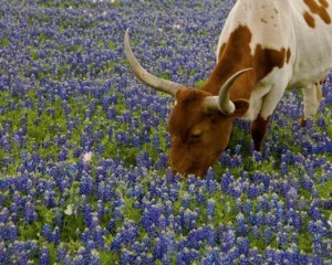 Texas i Bluebonnets