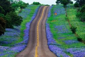 Texas i Bluebonnets