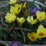 Crocus chrysanthus 'Gipsy Girl'