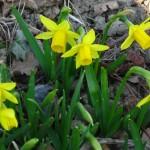 Narcissus 'Tete a Tete'