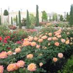 Municipio di El Paso Texas giardino Rose garden