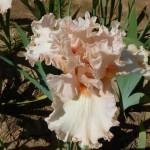 Iris-de-Provence_003